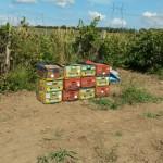 Краснодарский край. Темрюкский район.  Так собирают виноград  для нашего вина.