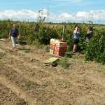 Через несколько месяцев собранный виноград станет исключительным по вкусу  вином.